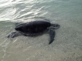 Turtle at Lady Musgrave I