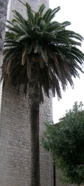 Palm in Vence